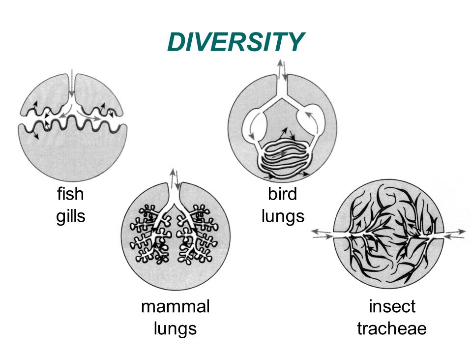 DIVERSITY fish gills bird lungs mammal lungs insect tracheae