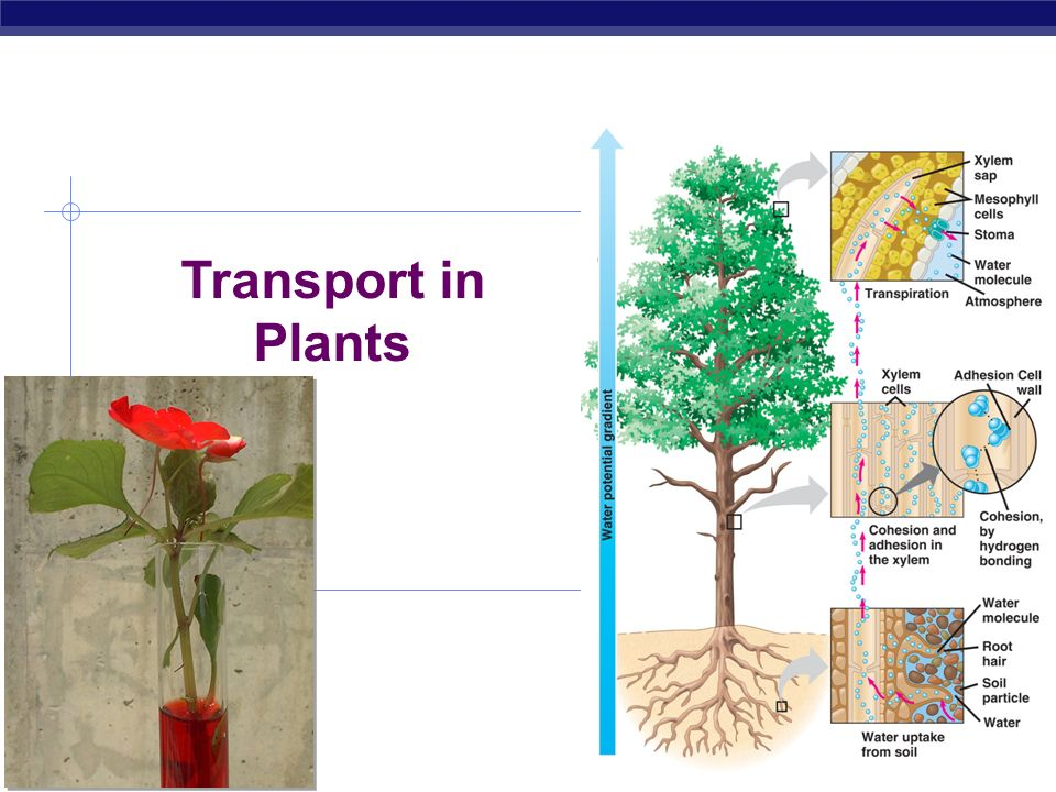 Transport in Plants 2006-2007