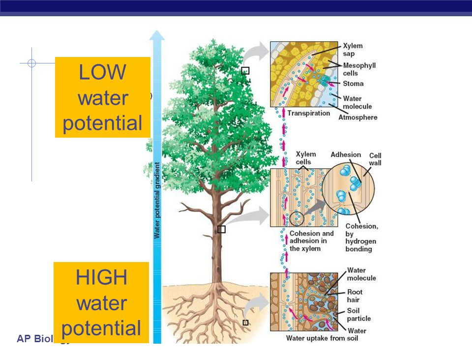LOW water potential HIGH water potential
