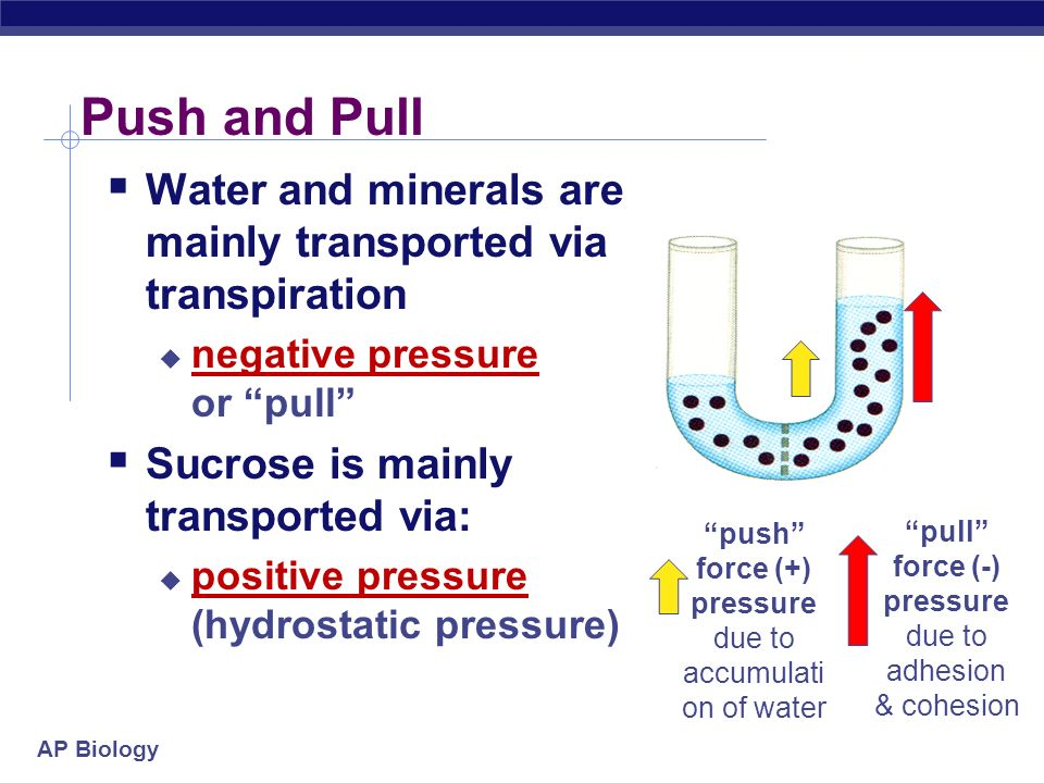 Push and Pull Water and minerals are mainly transported via transpiration. negative pressure or pull