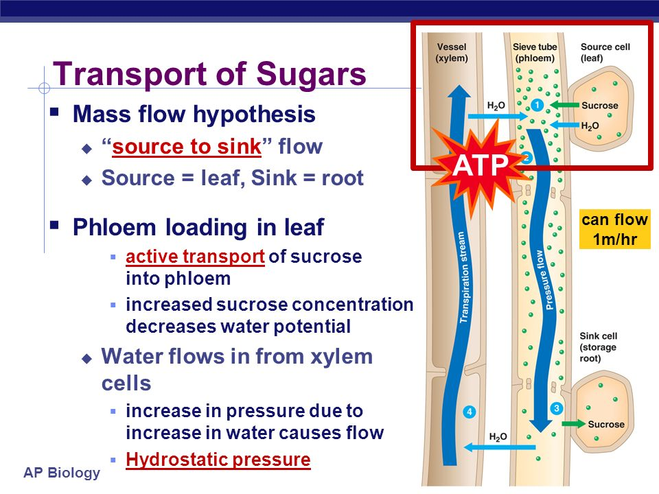 Transport of Sugars ATP Mass flow hypothesis Phloem loading in leaf