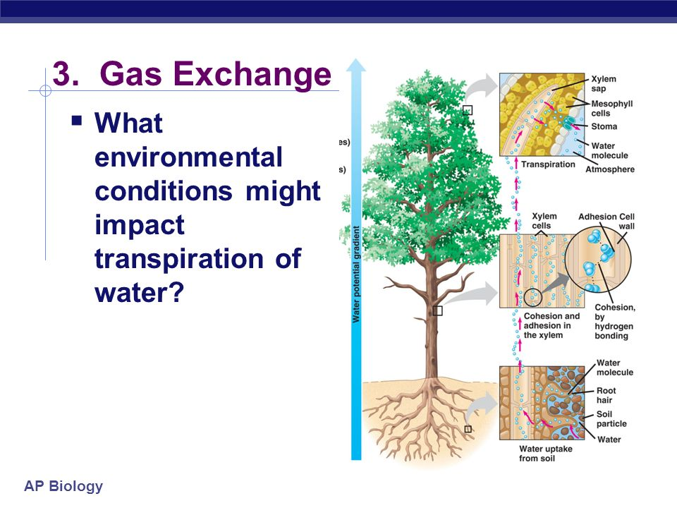 3. Gas Exchange What environmental conditions might impact transpiration of water