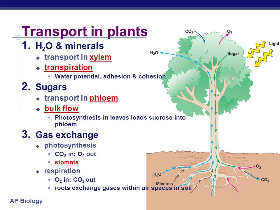 Transport in plants H2O & minerals Sugars Gas exchange