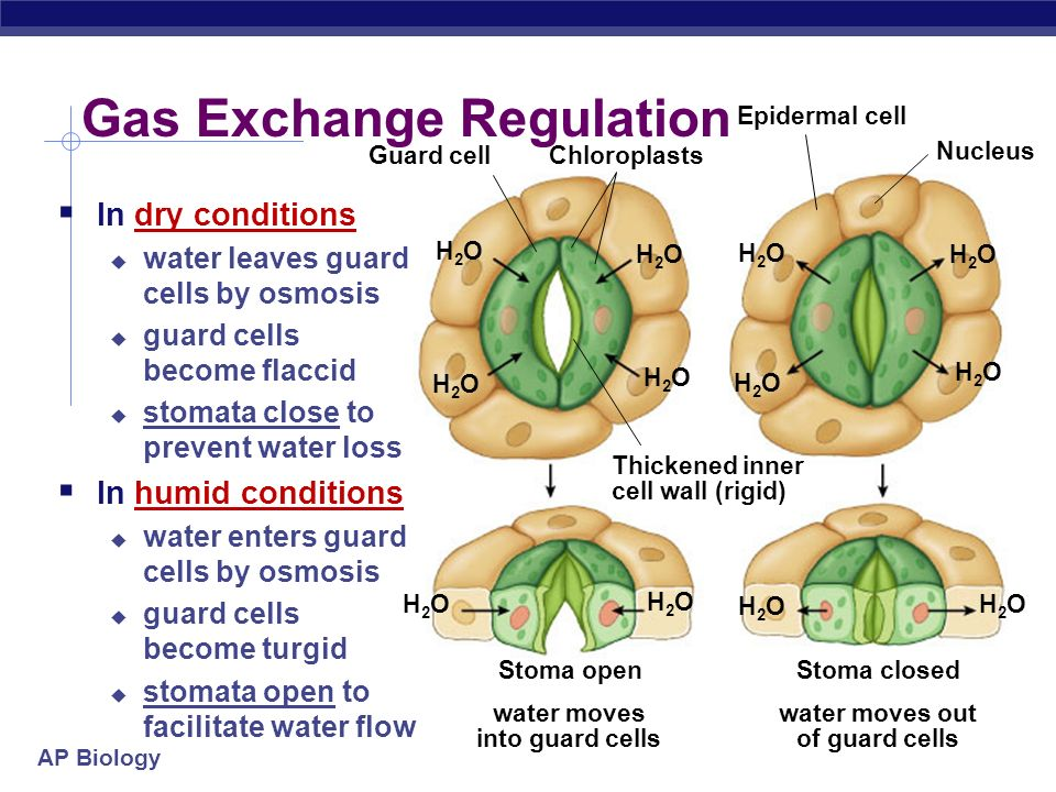 Gas Exchange Regulation