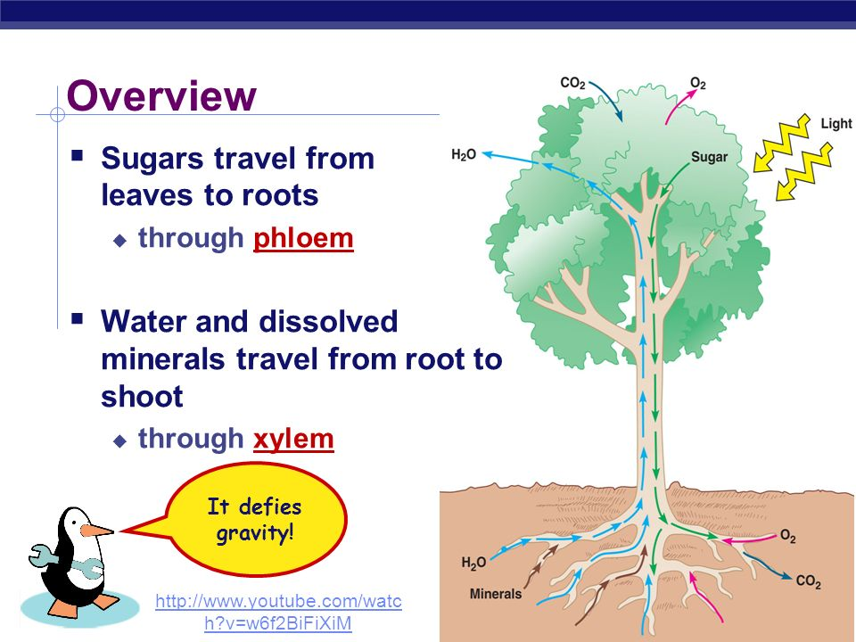 Overview Sugars travel from leaves to roots