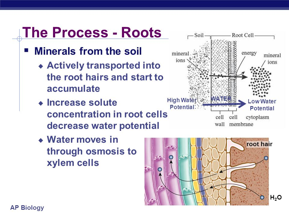 The Process - Roots Minerals from the soil