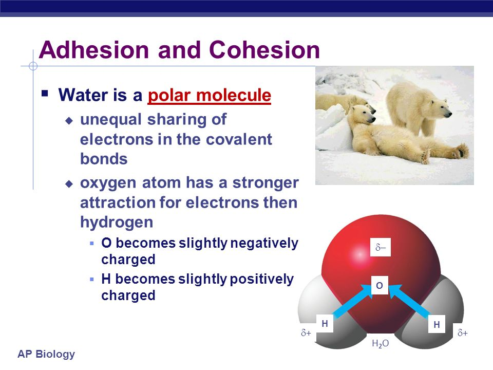 Adhesion and Cohesion Water is a polar molecule