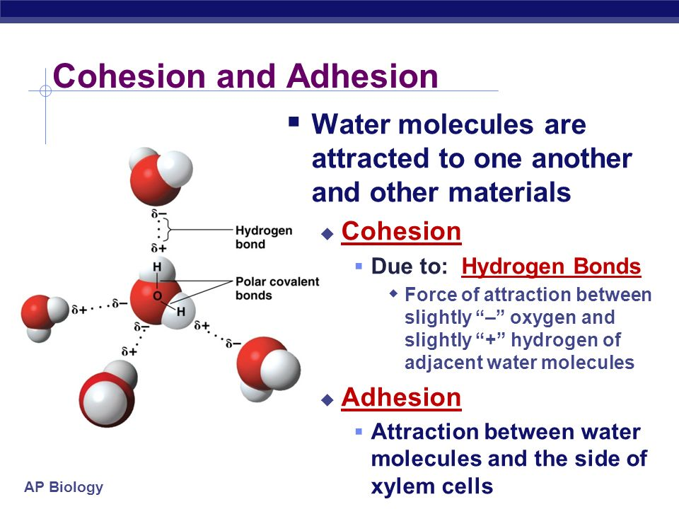 Cohesion and Adhesion Water molecules are attracted to one another and other materials. Cohesion. Due to: Hydrogen Bonds.
