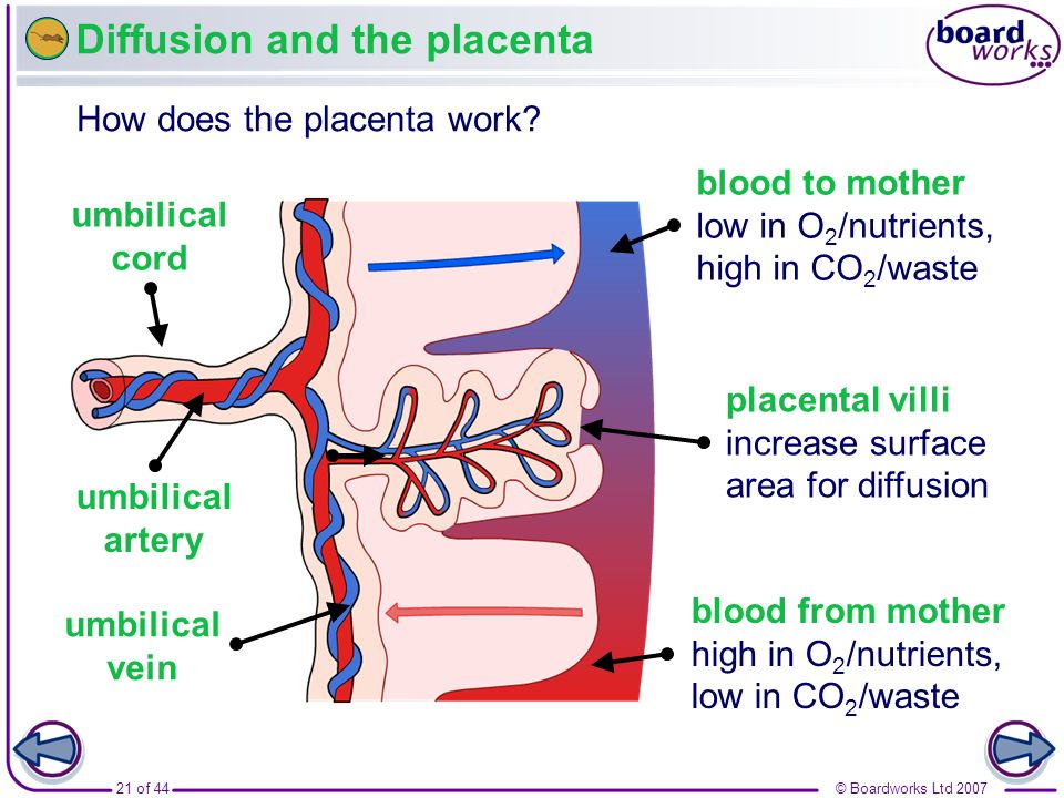 Diffusion and the placenta