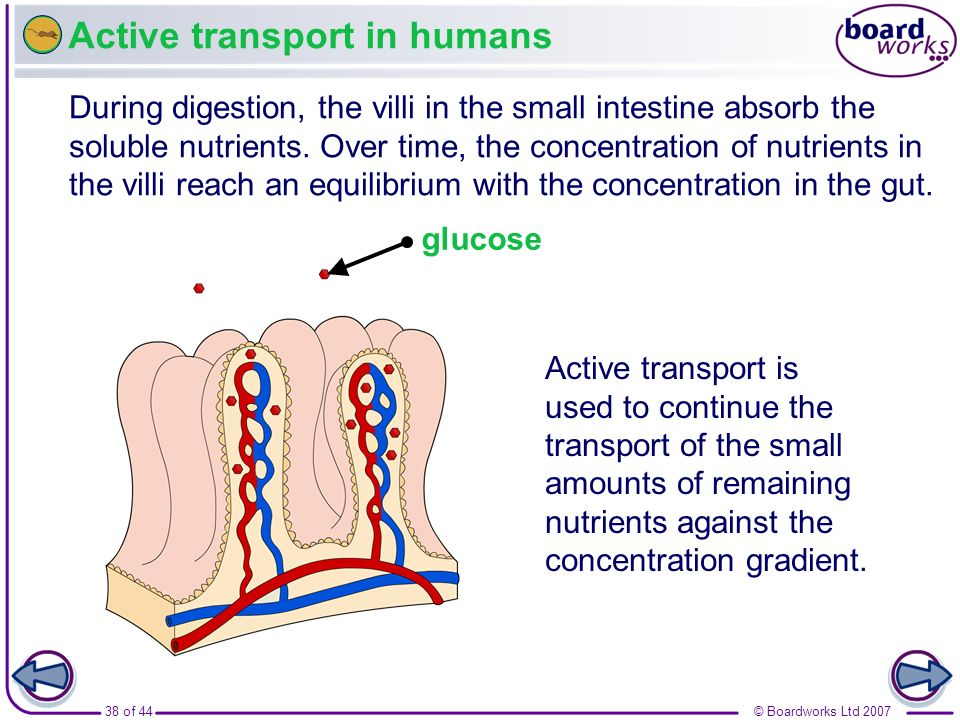 Active transport in humans