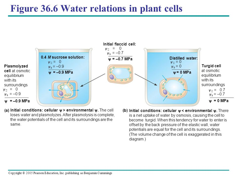Figure 36.6 Water relations in plant cells