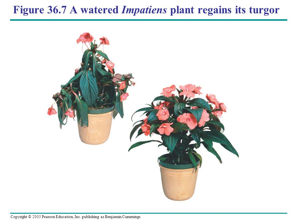 Figure 36.7 A watered Impatiens plant regains its turgor