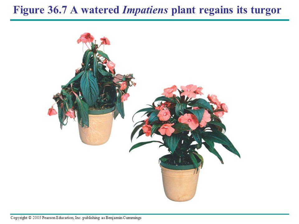 Figure 36.7 A watered Impatiens plant regains its turgor