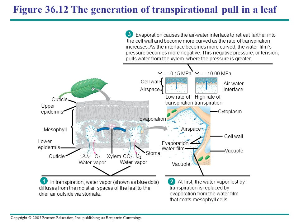 Figure 36.12 The generation of transpirational pull in a leaf
