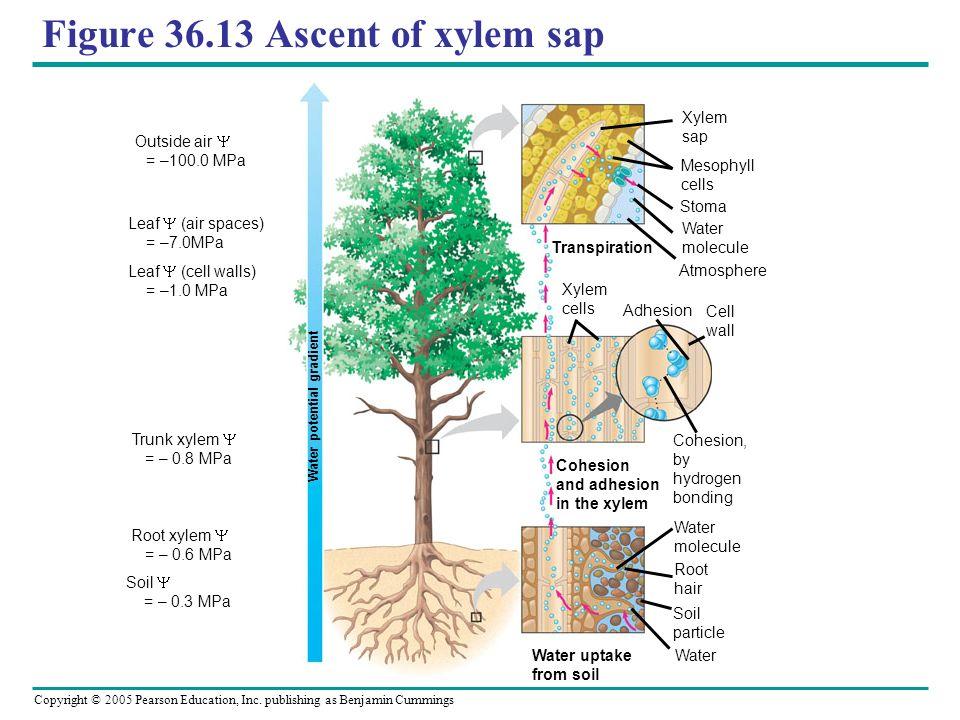 Figure 36.13 Ascent of xylem sap