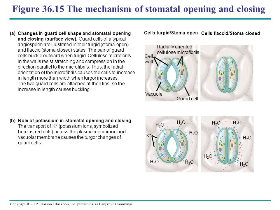 Figure 36.15 The mechanism of stomatal opening and closing