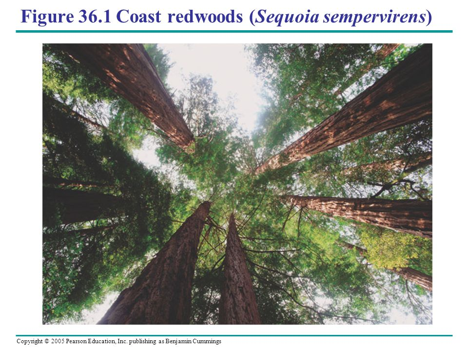 Figure 36.1 Coast redwoods (Sequoia sempervirens)