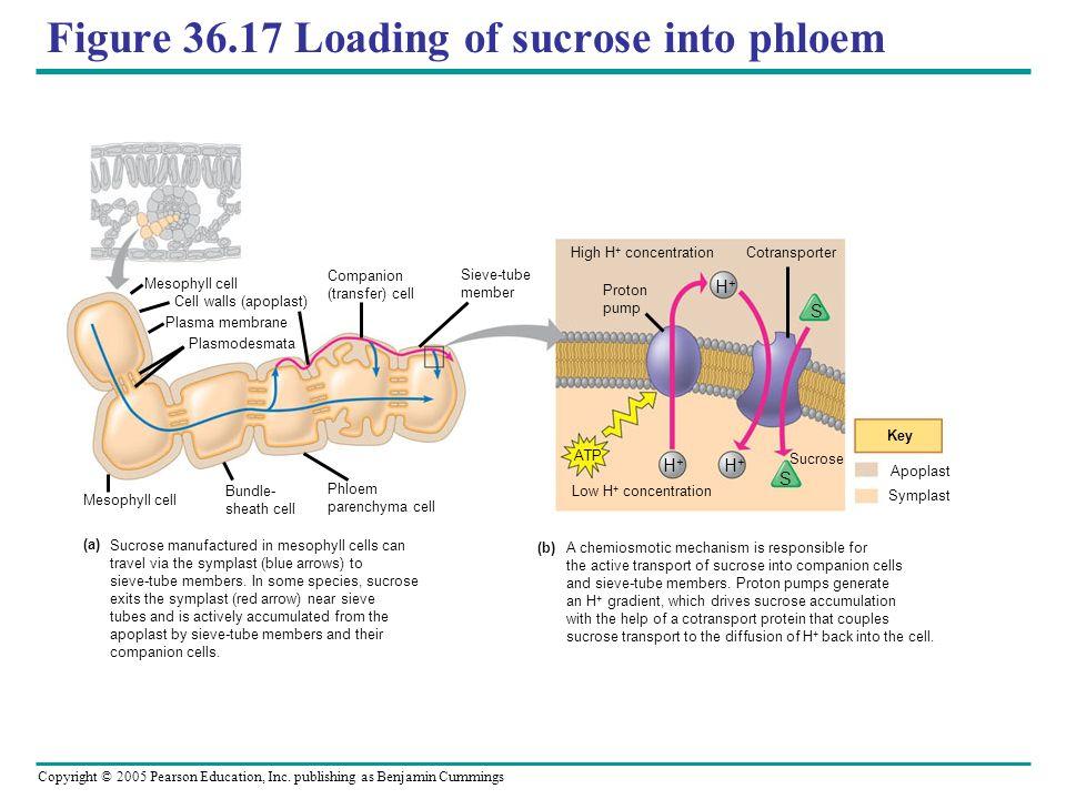Figure 36.17 Loading of sucrose into phloem