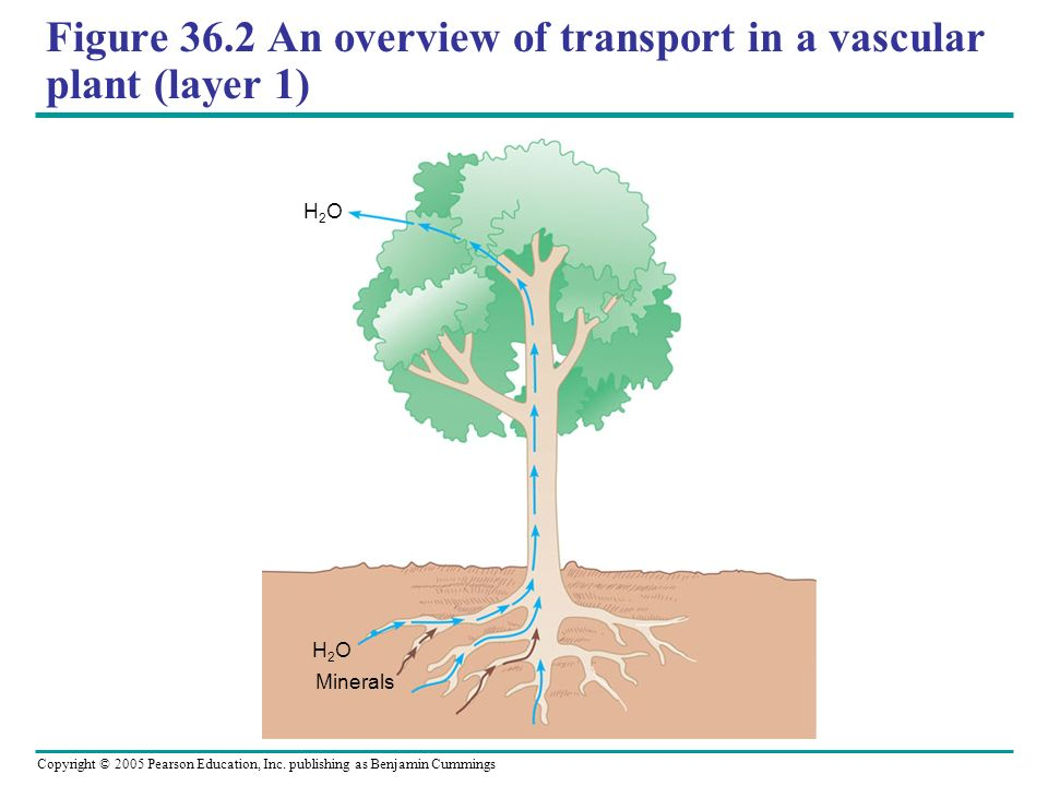 Figure 36.2 An overview of transport in a vascular plant (layer 1)