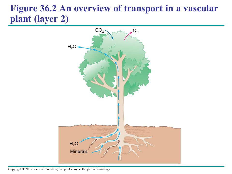 Figure 36.2 An overview of transport in a vascular plant (layer 2)