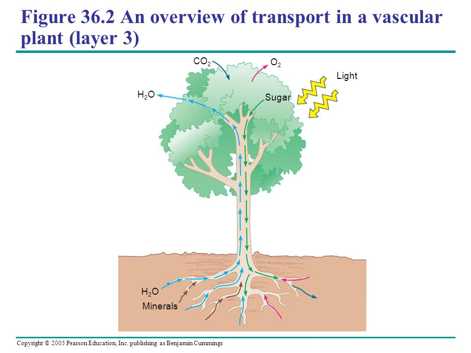 Figure 36.2 An overview of transport in a vascular plant (layer 3)