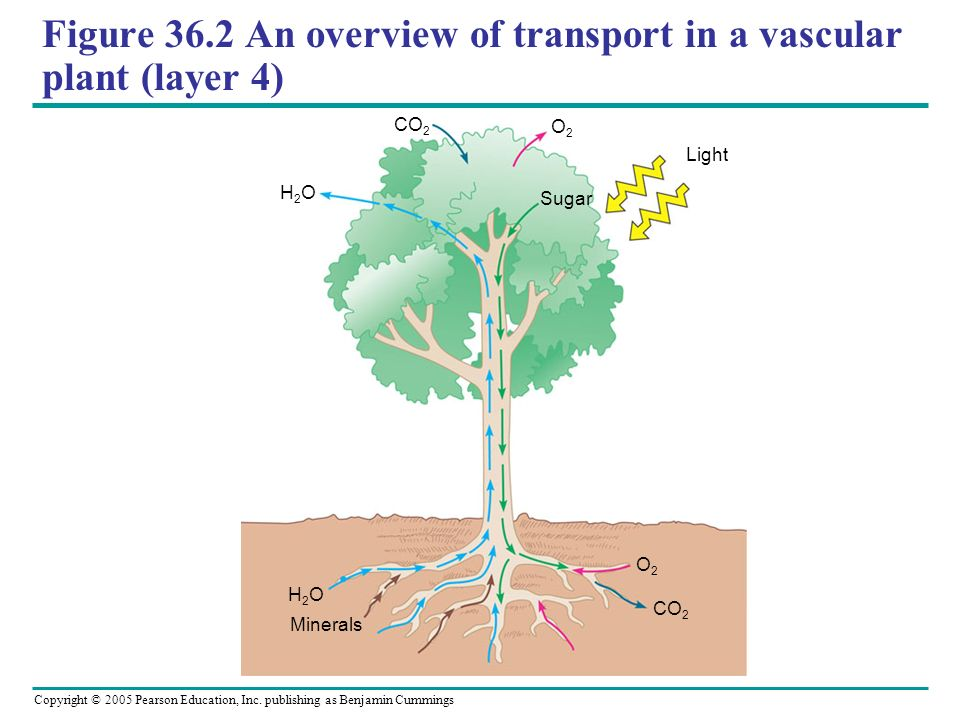 Figure 36.2 An overview of transport in a vascular plant (layer 4)