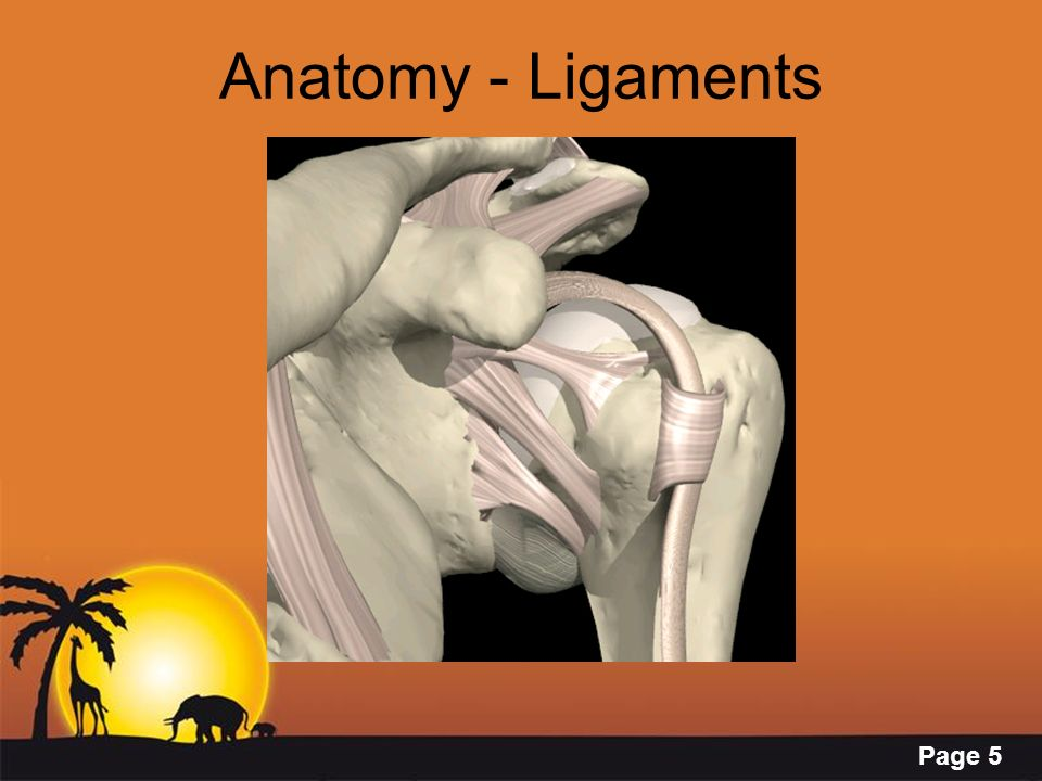 Anatomy - Ligaments