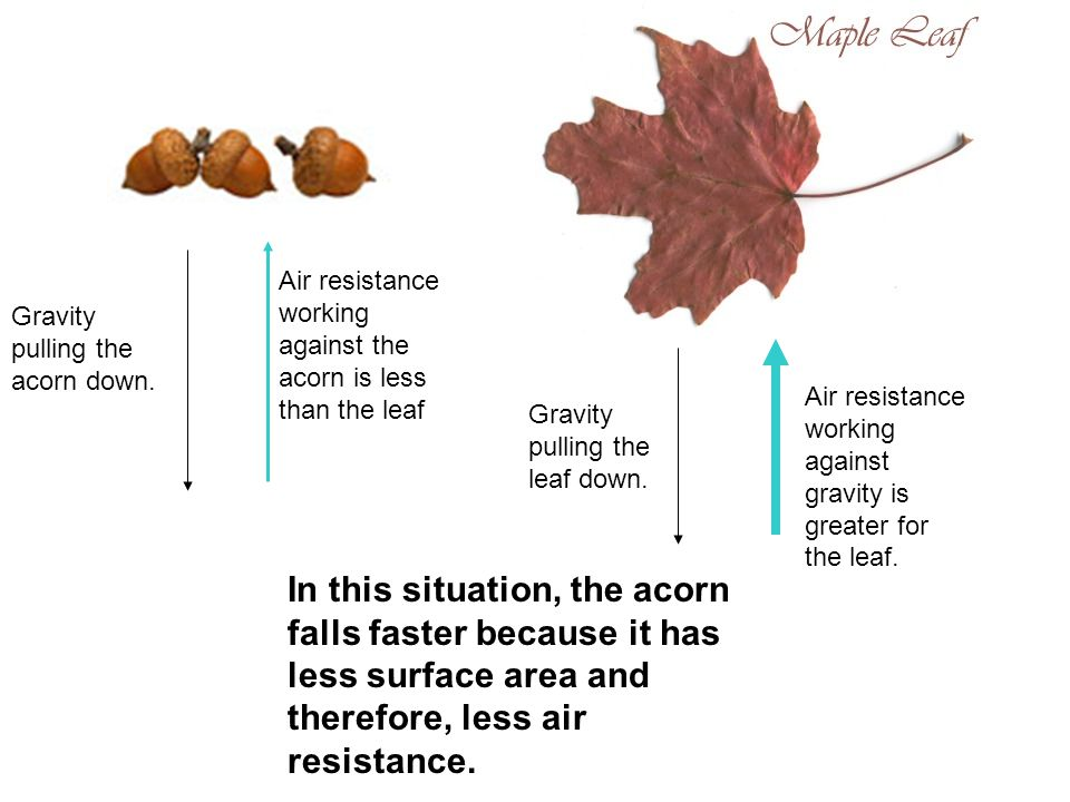 Air resistance working against the acorn is less than the leaf