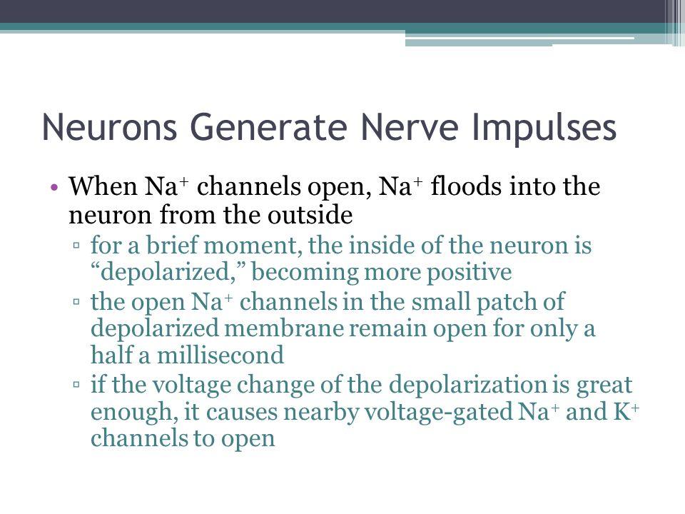 Neurons Generate Nerve Impulses