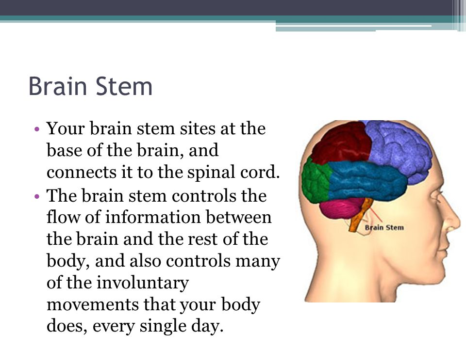 Brain Stem Your brain stem sites at the base of the brain, and connects it to the spinal cord.