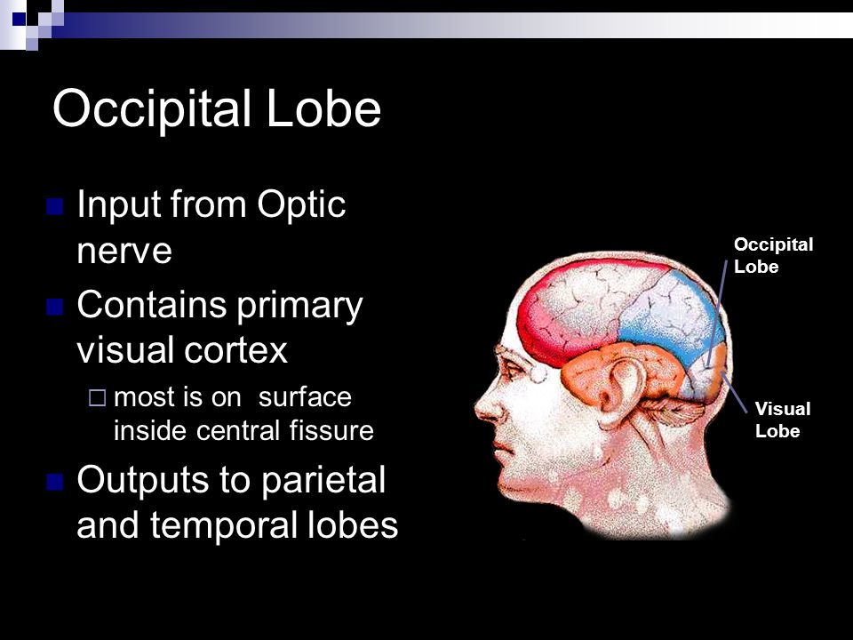 Occipital Lobe Input from Optic nerve Contains primary visual cortex