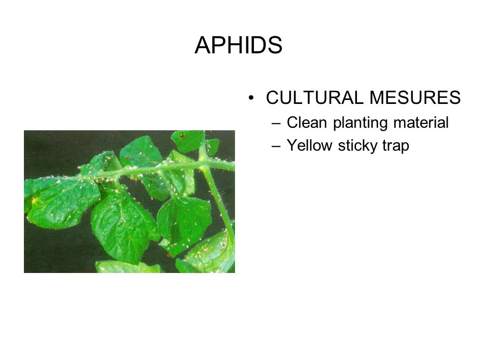 APHIDS CULTURAL MESURES Clean planting material Yellow sticky trap