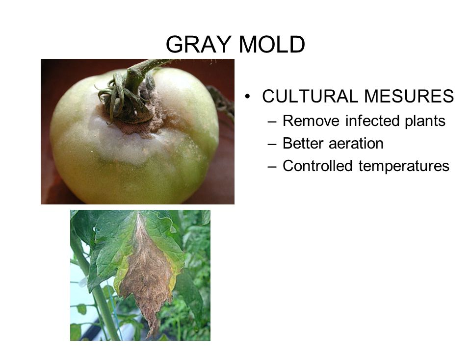 GRAY MOLD CULTURAL MESURES Remove infected plants Better aeration