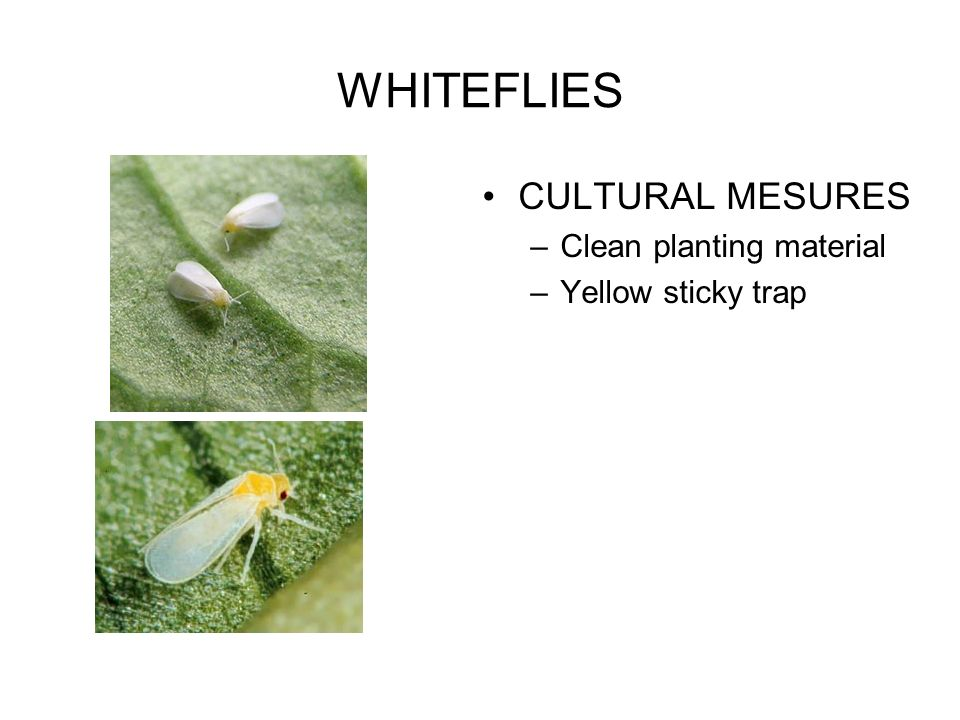 WHITEFLIES CULTURAL MESURES Clean planting material Yellow sticky trap