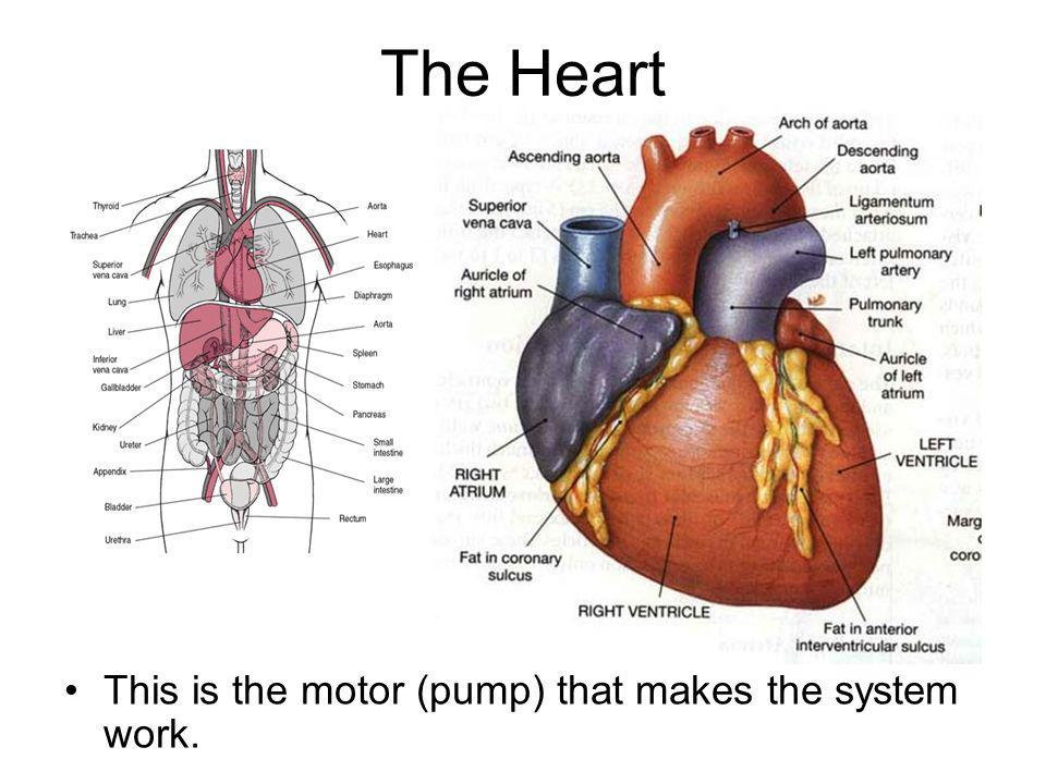 The Heart This is the motor (pump) that makes the system work.