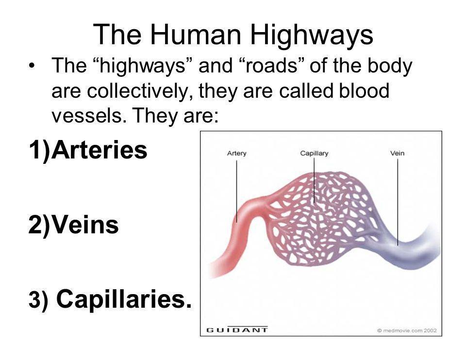 The Human Highways Arteries Veins 3) Capillaries.