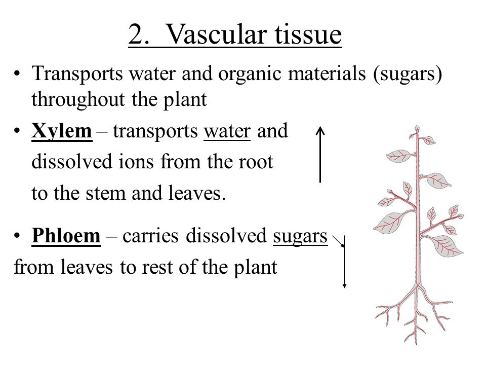 2. Vascular tissue Transports water and organic materials (sugars) throughout the plant. Xylem – transports water and.