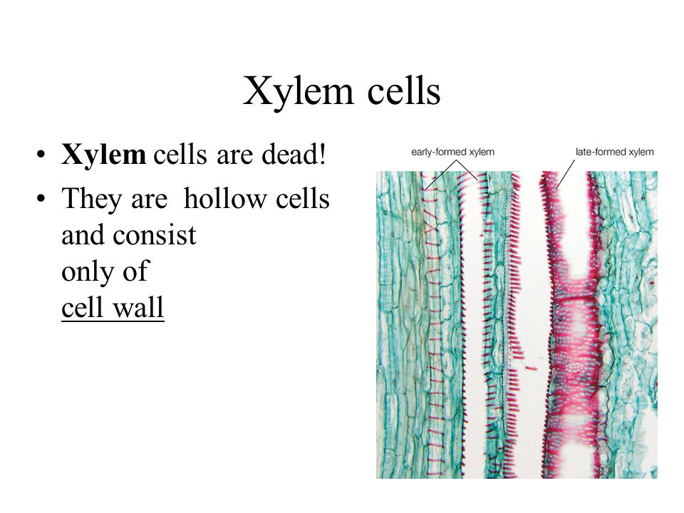 Xylem cells Xylem cells are dead!