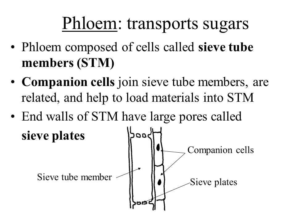 Phloem: transports sugars