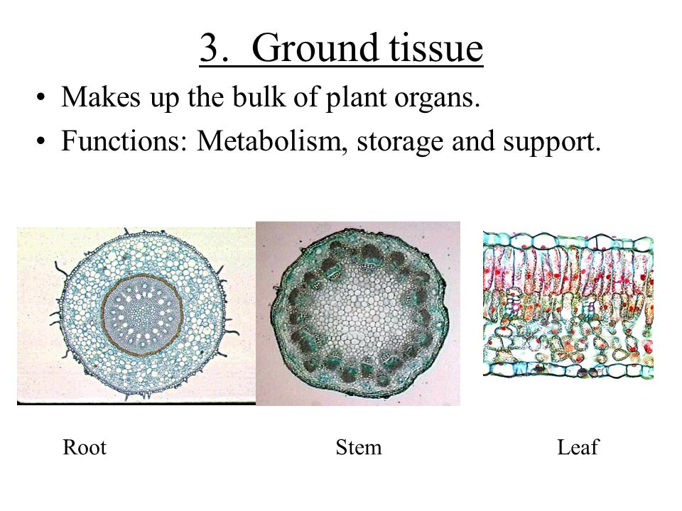 3. Ground tissue Makes up the bulk of plant organs.