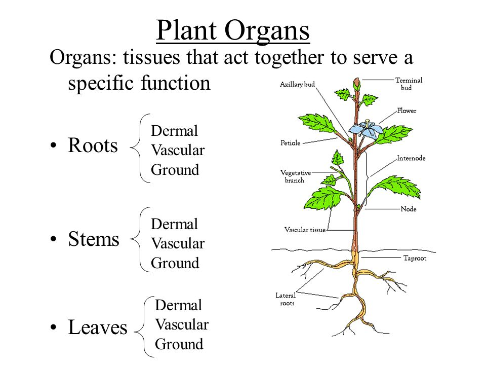 Plant Organs Organs: tissues that act together to serve a specific function. Roots. Stems. Leaves.