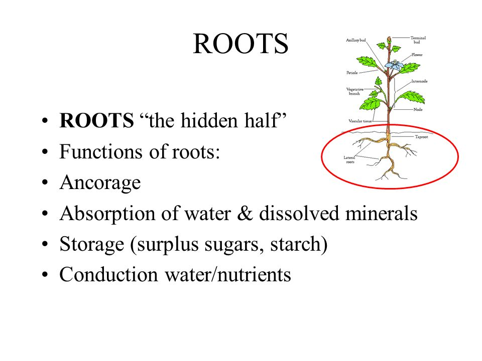 ROOTS ROOTS the hidden half Functions of roots: Ancorage
