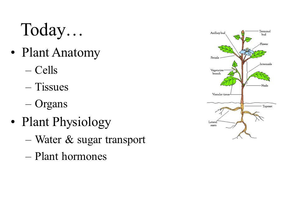 Today… Plant Anatomy Plant Physiology Cells Tissues Organs