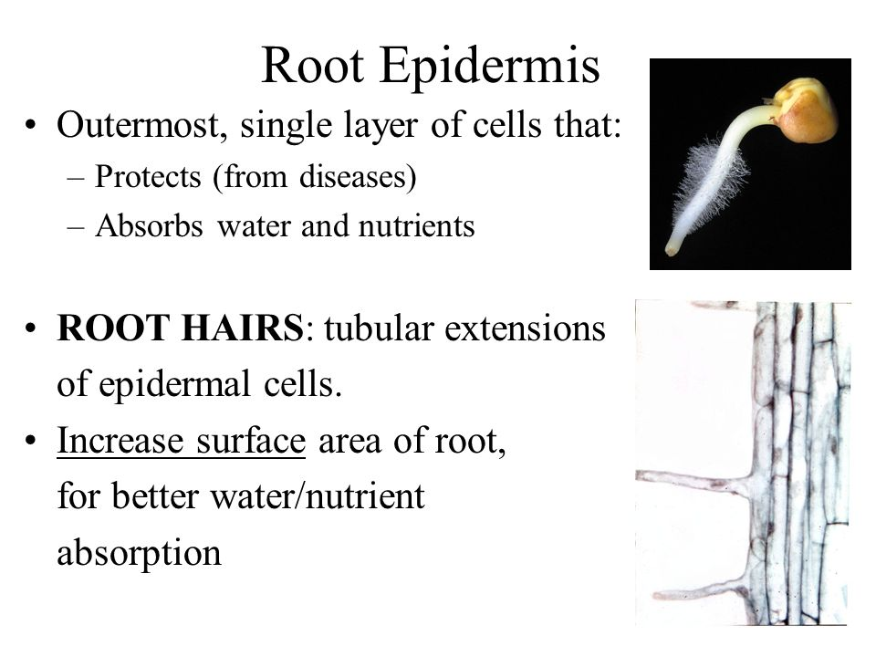 Root Epidermis Outermost, single layer of cells that: