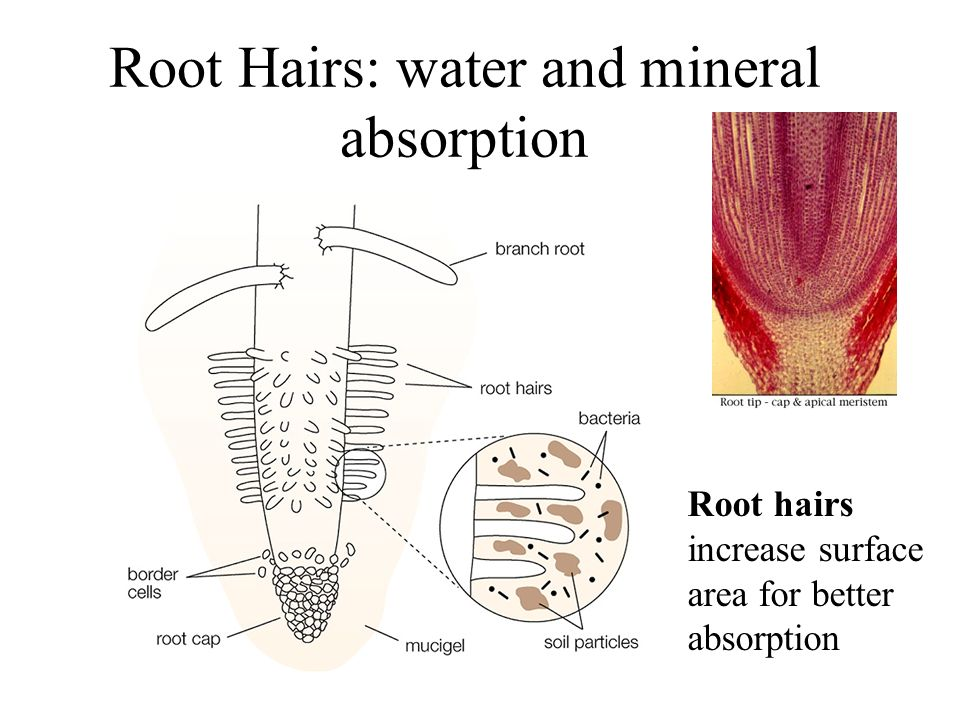 Root Hairs: water and mineral absorption