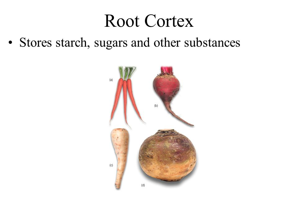 Root Cortex Stores starch, sugars and other substances