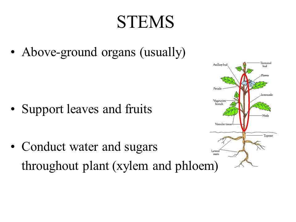 STEMS Above-ground organs (usually) Support leaves and fruits