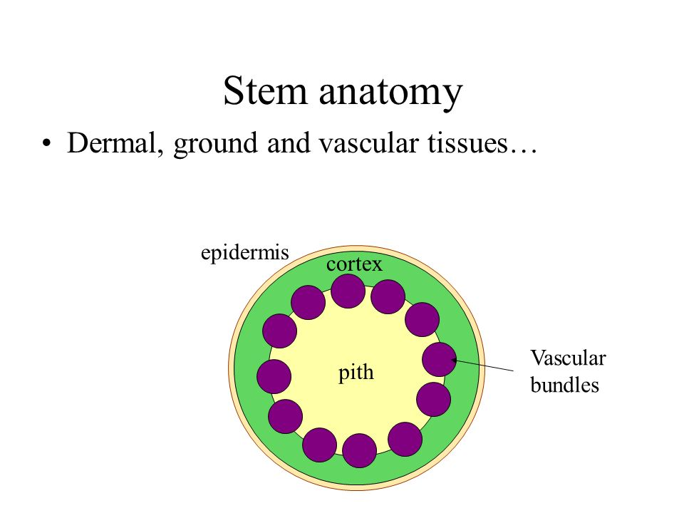 Stem anatomy Dermal, ground and vascular tissues… epidermis cortex