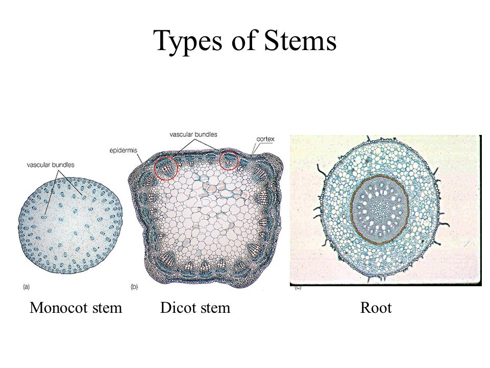 Types of Stems Monocot stem Dicot stem Root