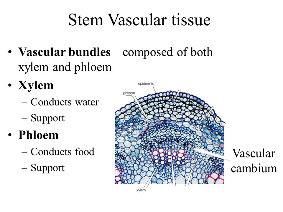 Stem Vascular tissue Vascular bundles – composed of both xylem and phloem. Xylem. Conducts water.